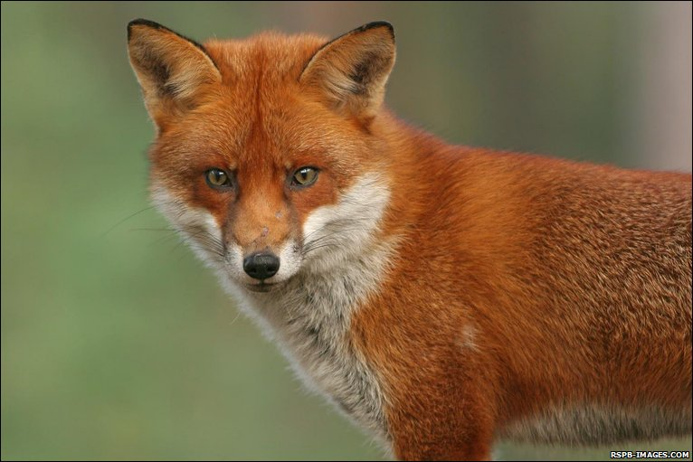 How To Get Rid Of Foxes And Best Fox Deterrents
