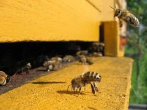 bee-infestation-removal