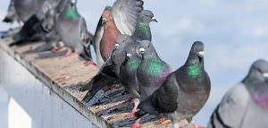 pigeon-infestation
