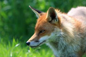how to get rid of foxes in coventry