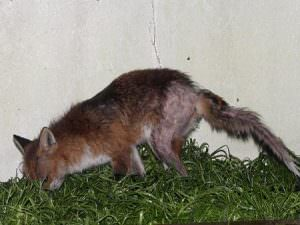 how to keep foxes away
